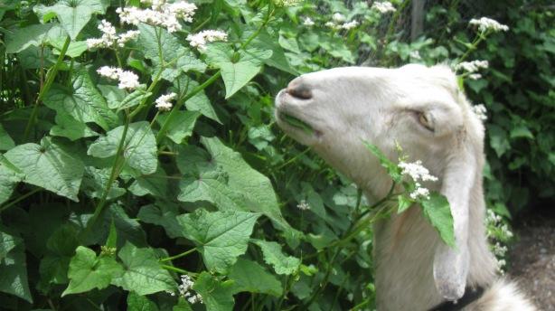 tonis goat.jpg